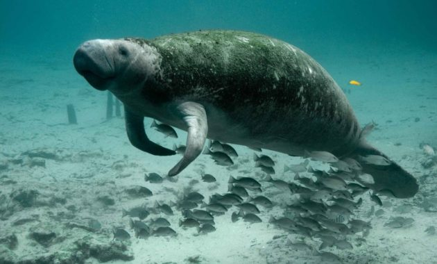 animals that start with D: dugong