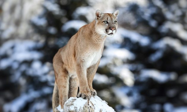 animals that start with e: eastern Cougar