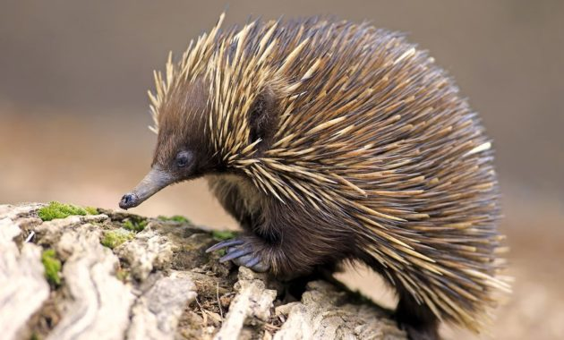 animals that start with e: echidna