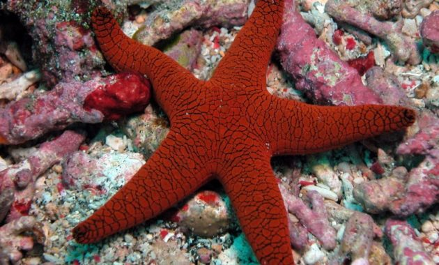 animals that start with e: echinoderm