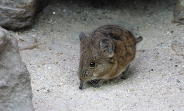 animals that start with e: elephant-shrew