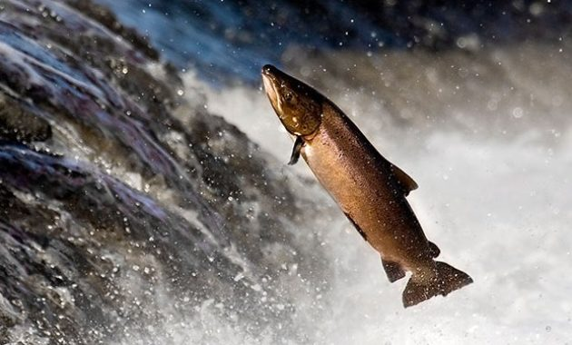 animals that start with s: salmon