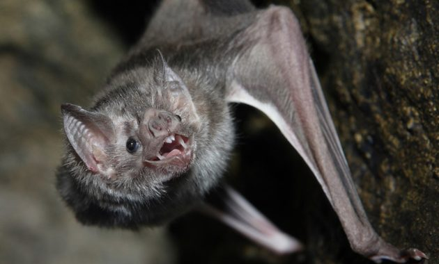 animals that start with v : vampire bat