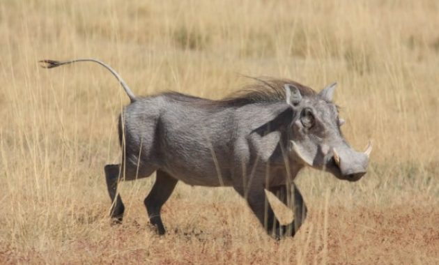 Animals That Start with W: warthog