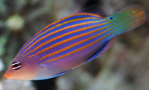 Animals That Start with W: wrasse