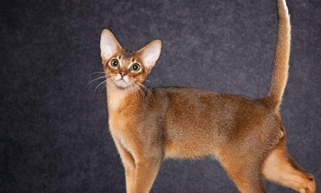 beautiful cat breeds : Abyssinian