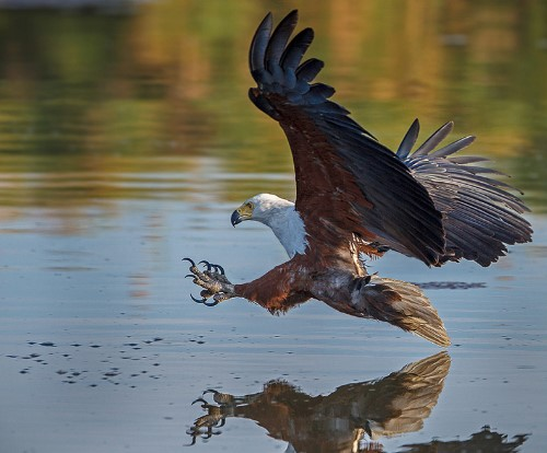 Types of Eagles: African Fish Eagle