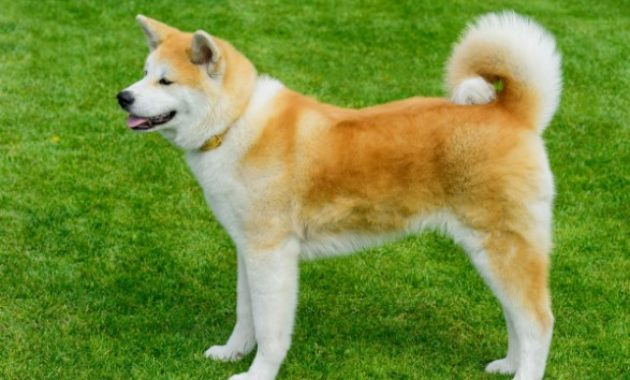 Beautiful Dog Breeds in the world: Akita Inu