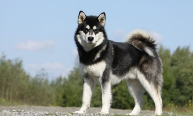 Beautiful Dog Breeds in the world: Alaskan Malamute