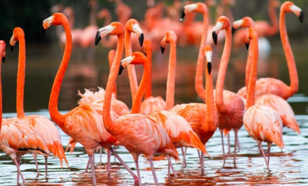 beautiful pink colored bird : American Flamingo