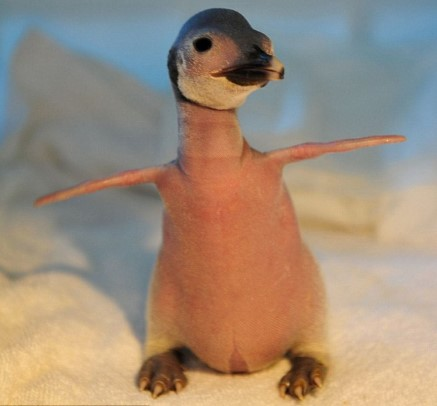 Bald and Hairless Animal: Bald Baby Penguin