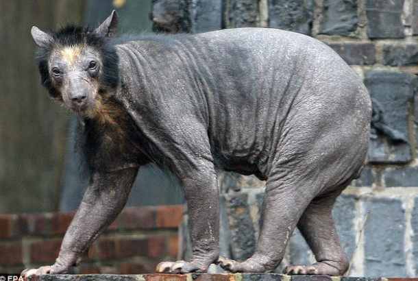 Bald and Hairless Animal: Bald Bear