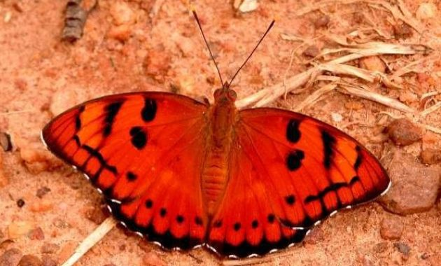 a list of beautiful animals with red colored : Baronet Euthalia Nais