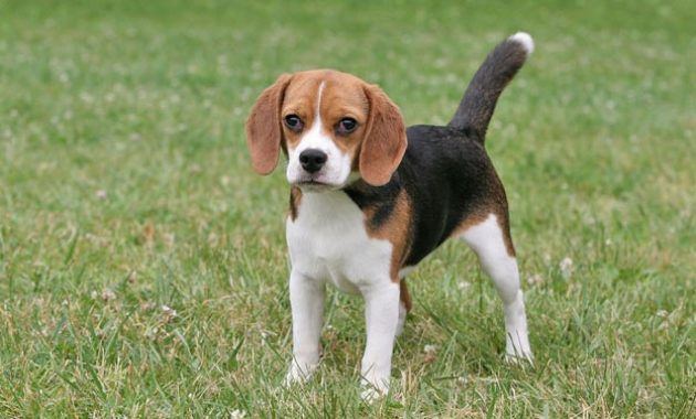 Beautiful Dog Breeds in the world: Beagle