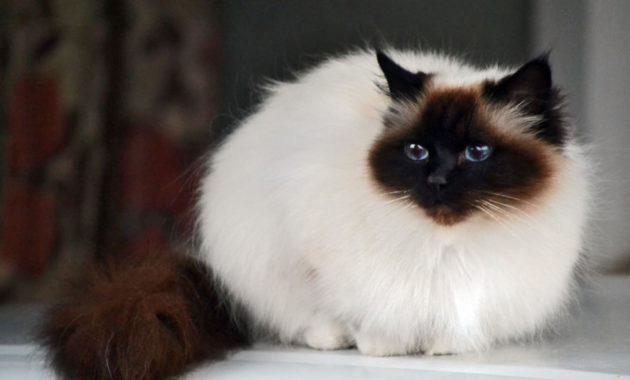 beautiful cat breeds : Birman