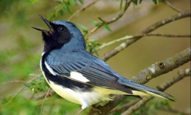 Blue Colored Birds : Black-throated Blue Warbler