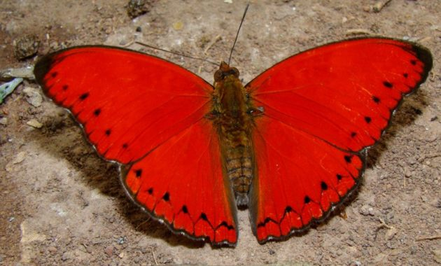 a list of beautiful animals with red colored : Blood-Red Glider