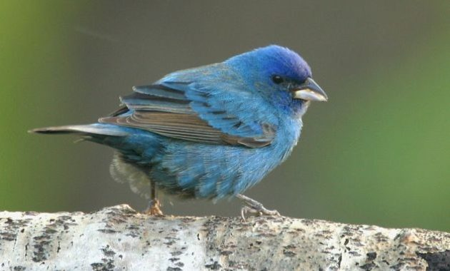 Blue Colored Birds : Blue Bunting