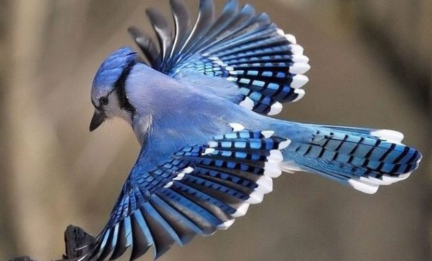 Blue Colored Birds : Blue Jay