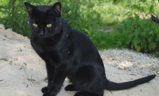 beautiful cat breeds : Bombay