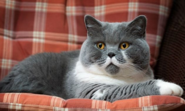 beautiful cat breeds : British Shorthair