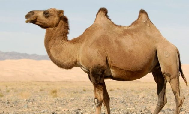 animals that start with c : Camel