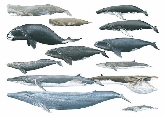 Bald and Hairless Animal: Cetaceans