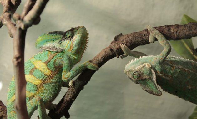 animals that start with c : Chameleon