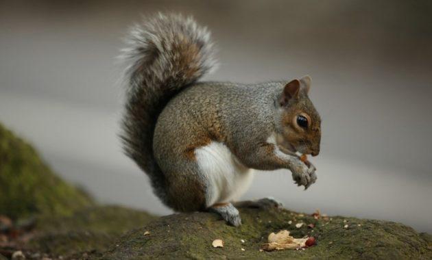 animals that start with c : Chipmunk