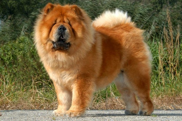 Beautiful Dog Breeds in the world: Chow Chow