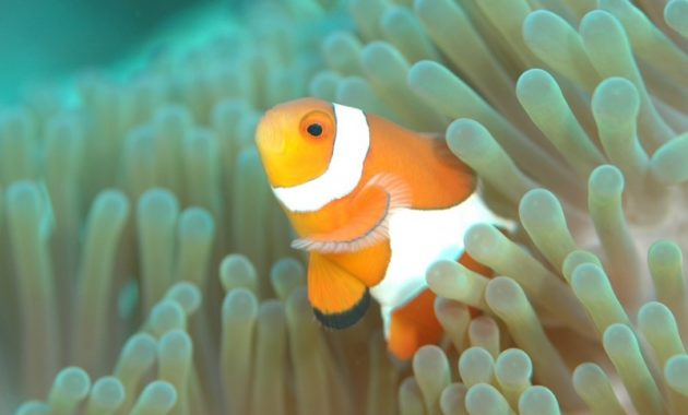 animals that start with c : Clownfish