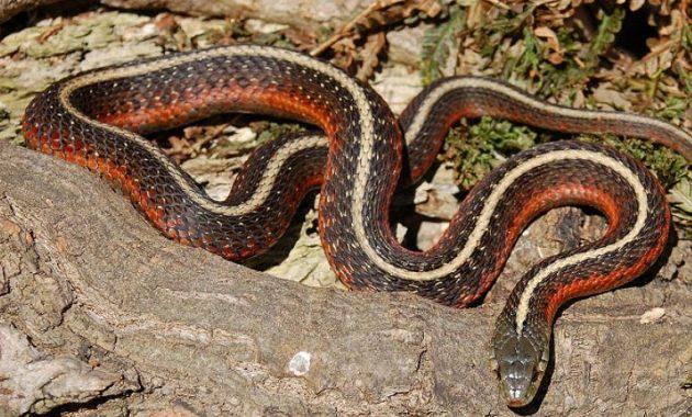 Colorful Small Snake : Coast Garter Snake (Thamnophis elegans terrestris)