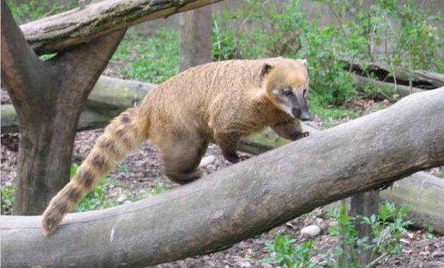 animals that start with c : Coati