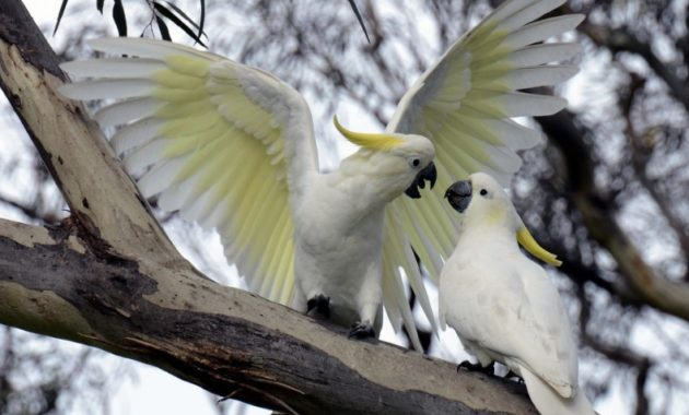 animals that start with c : Cockatoo