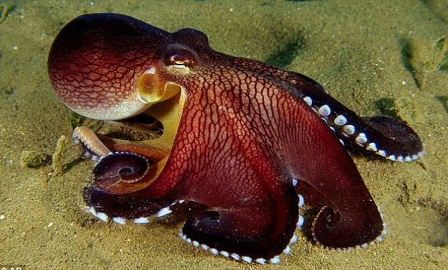 a list of beautiful animals with red colored : Coconut Octopus