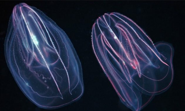 animals that start with c : Comb Jelly