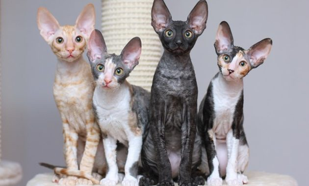 beautiful cat breeds : Cornish Rex