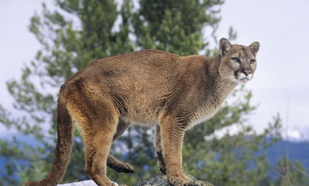 Highest Jumping Animals : Cougar