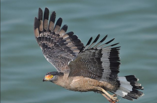 Types of Eagles: Crested Serpent Eagle