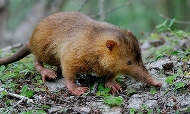 animals that start with c : Cuban Solenodon