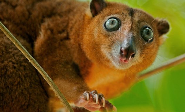 animals that start with c : Cuscus