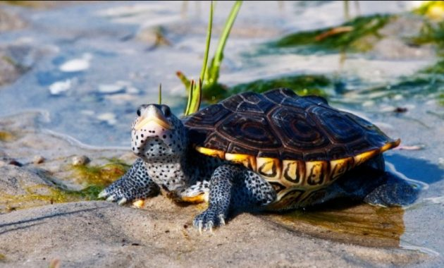 amazing armored animals Diamondback Terrapin
