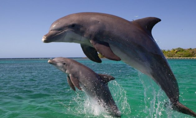 Highest Jumping Animals : Dolphin