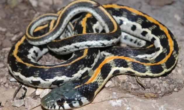 Colorful Small Snake : Eastern Blackneck Garter Snake