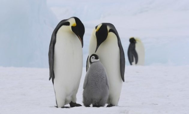 Largest Birds : Emperor Penguin