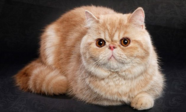 beautiful cat breeds : Exotic Shorthair