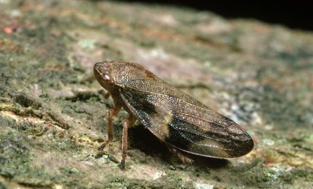 Highest Jumping Animals : Froghopper