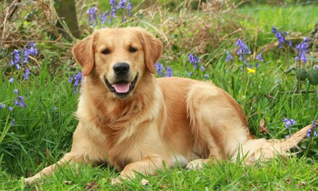 Beautiful Dog Breeds in the world: Golden Retriever
