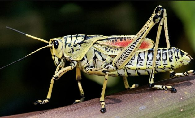 Highest Jumping Animals : Grasshopper
