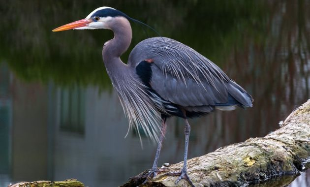Blue Colored Birds : Great Blue Heron